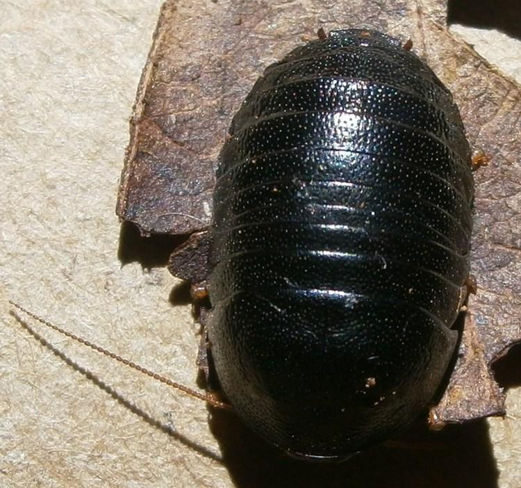 C.pygm%252327.JPG