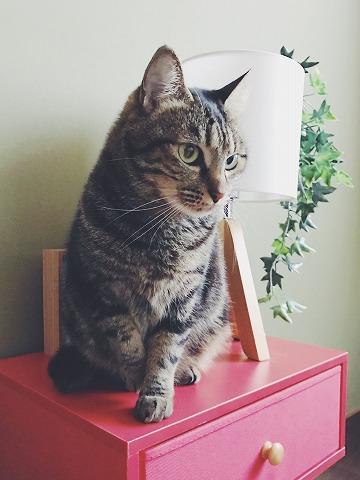 赤いテーブルの上に座っているキジトラ猫