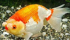 Jenis Ikan Koki Hanafusa