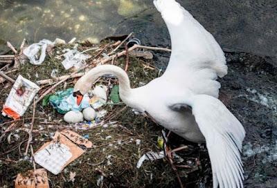 Penampakan Angsa yang Bangun Sarang dari Plastik