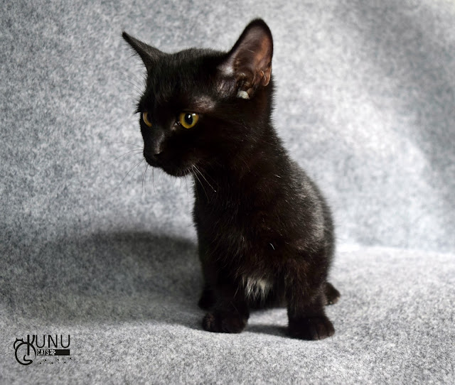 Kitten Munchkin Available