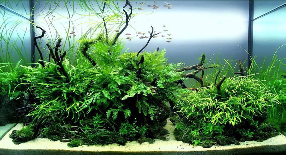 Một hồ thủy sinh đẹp có cây dương xỉ châu phi lùn xòe