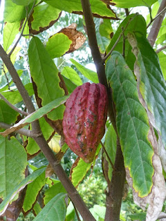 Cacaoyer - Cacaotier - Theobroma cacao