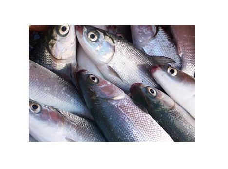 Ikan Bandeng Pangkep