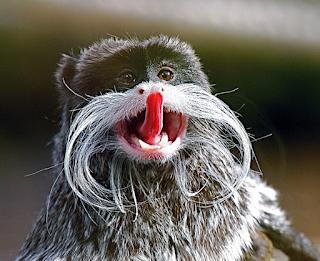Необычные приматы, императорская тамарина