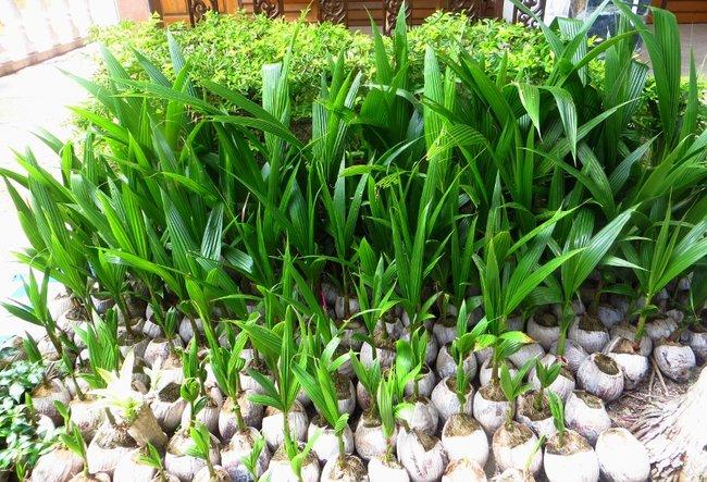 Проросшие кокосы остров Панган, Таиланд