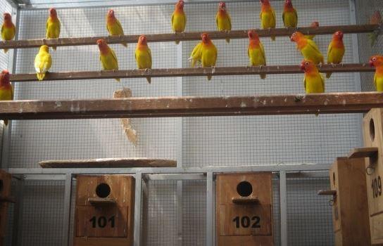 Kandang Ternak Lovebird Koloni