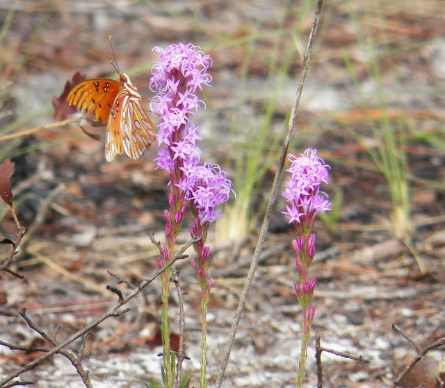 Gulf Frittilary on Liatris