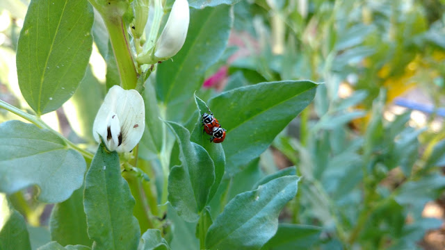 Copulating Ladybugs