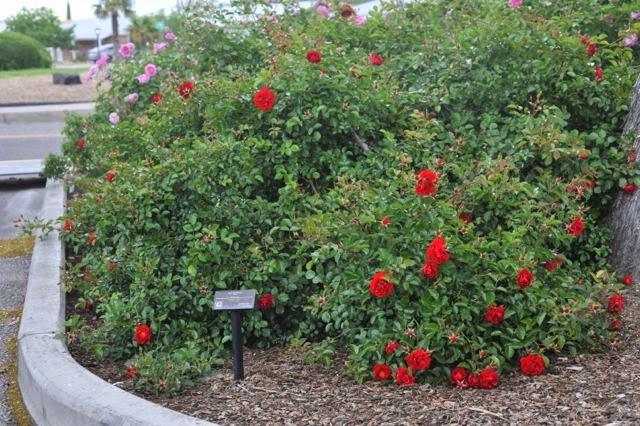 the modern house garden albuquerque rose garden