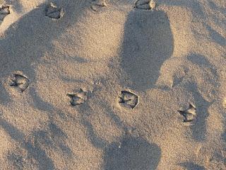 Traces de pas - Empreinte dans le sable - Traces d'animaux