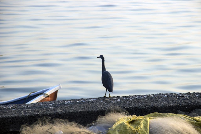 heron, bird, guard, coast, worli, jetty, mumbai, arabian sea, india,