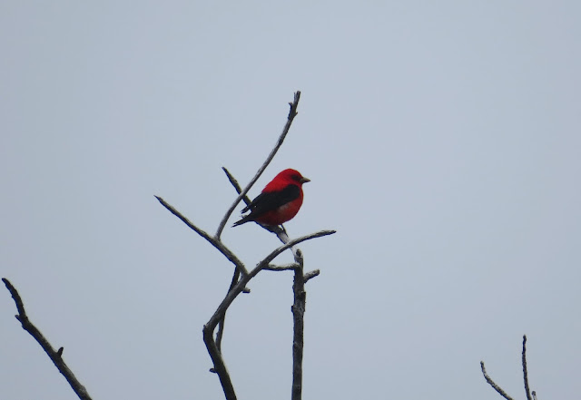 Scarlet Tanager - Dry Tortugas, Florida