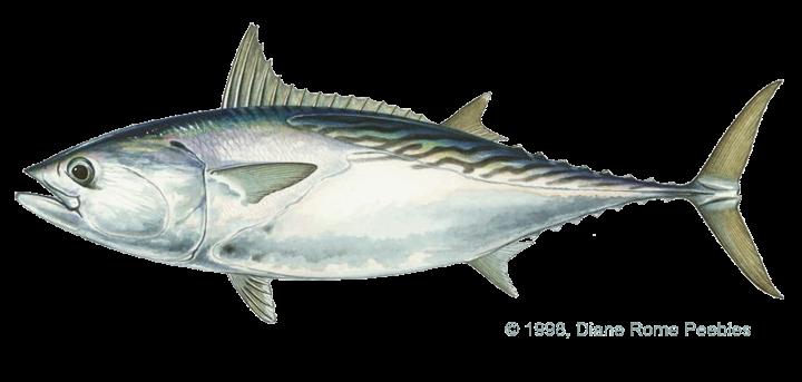 Eastern little tuna - photo#34