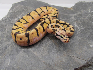 tiger snake,top 10 venomous snakes in the world