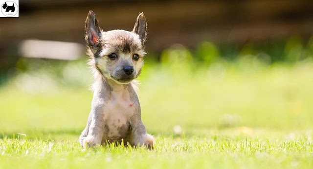 Cutest Dog Breeds, Best Dog, chinese crested Dog puppies