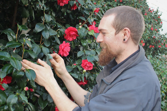 A member of staff cleans a camellia at Chiswick House