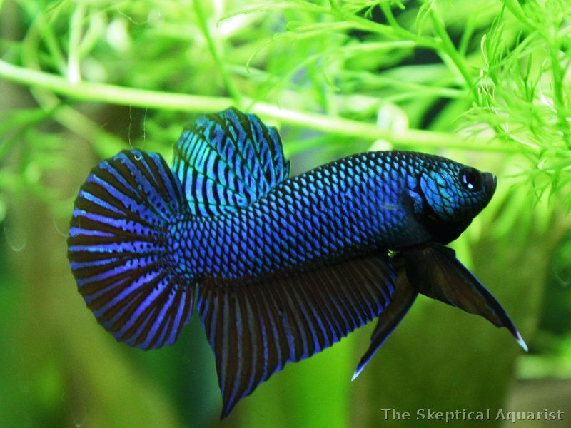 Gambar Ikan Cupang Ganas