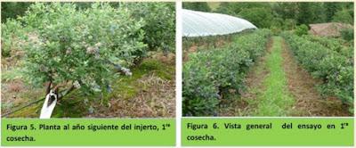 http://agriculturers.com/el-injerto-en-arandano-operaciones-y-tiempos-de-ejecucion-para-el-cambio-de-variedad/