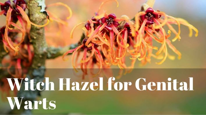 Witch-Hazel-for-Genital-Warts