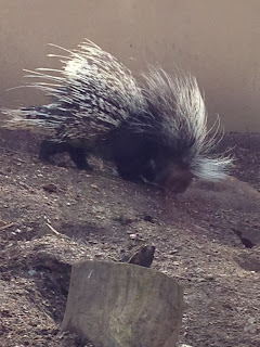 Porcupine - ZSL London Zoo