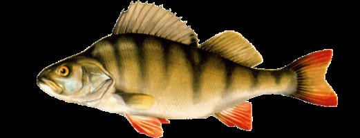 Фото Речных Рыб.