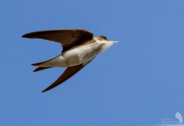 Avión zapador en vuelo con una pluma para forrar la cámara del nido