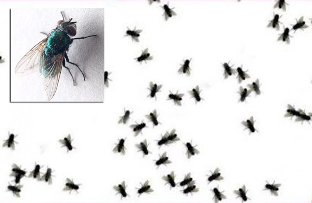 Cara Mengusir Lalat Dengan Bahan Alami