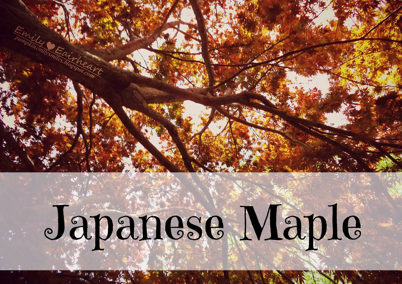 Perspective shot of tree and image says Japanese Maple.