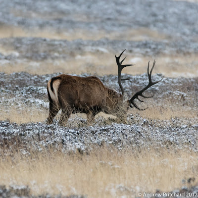 A stag grazing on heather covered in light snow.