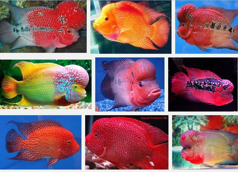 Jenis ikan hias terbesar dan terpopuler