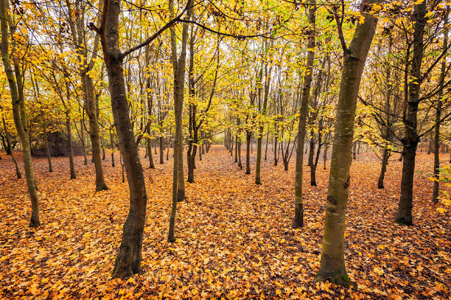 Stand of trees in autumn at Hinchingbrooke Country Park in Cambridgeshire
