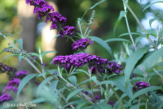 purple blooms on a butterfly bush