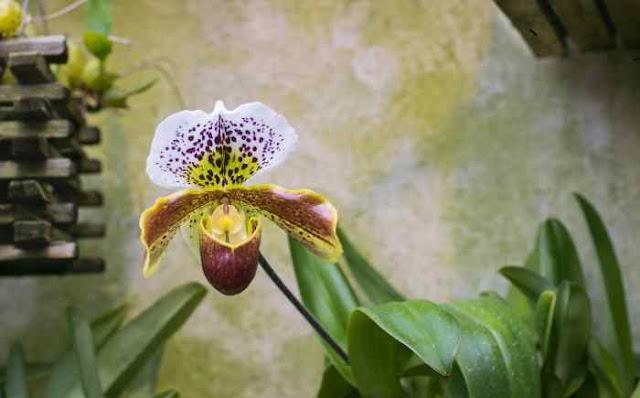 Manchas nas folhas das orquídeas