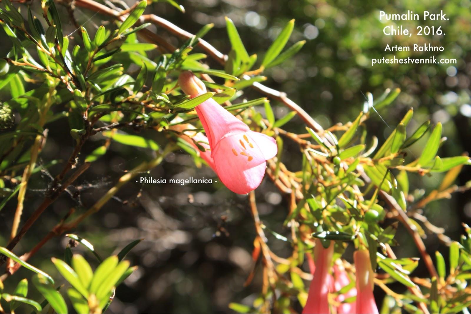 Цветок филезии