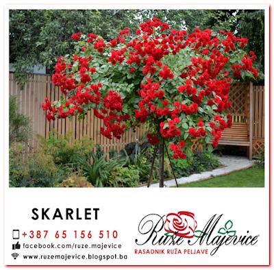 Sadnice ruža, Stablašica Skarlet, crvena