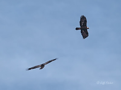Bald Eagle and Golden Eagle in Flight