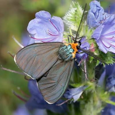 fotos de mariposas grises