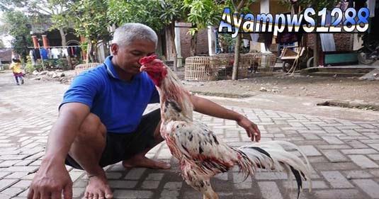 Ciri Ciri Ayam Bangkok Aduan Yang Berkualitas Juara - Ayam pw S1288