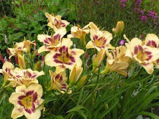 plantas HEMEROCALLIS