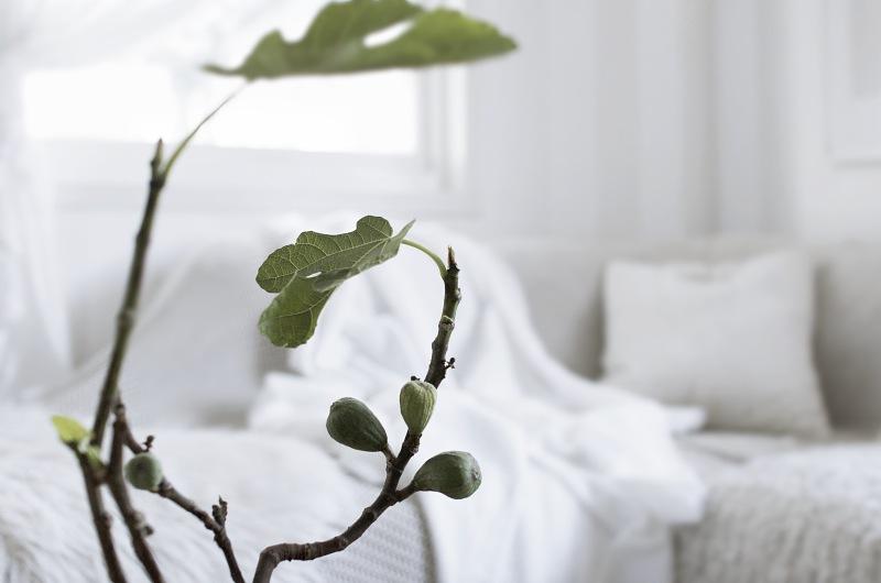 Hur sköter man ett fikonträd