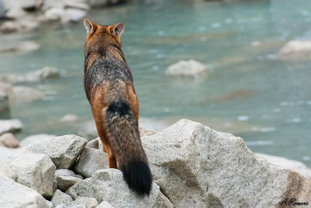 La coloración de su pelaje y la gruesa cola son rasgos que comparten con los zorros eurasiáticos, fruto de la convergencia evolutiva al ocupar nichos ecológicos similares.