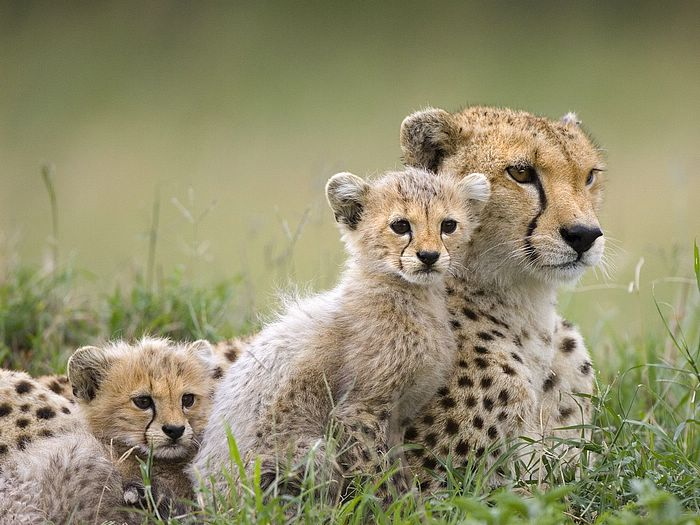 All about animal wildlife cheetah cool hd wallpapers 2012 - All animals hd wallpapers ...