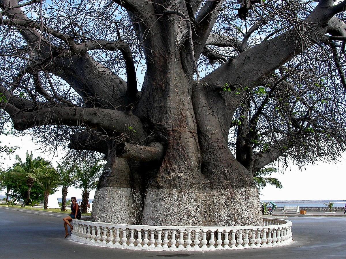 baobab plusieurs fois centenaire Adensonia digitata