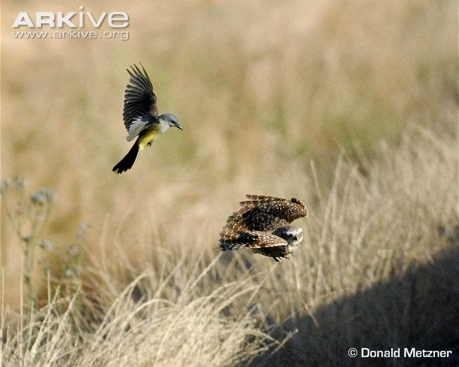 interactions between birds burrowing owl
