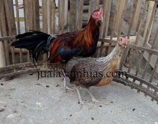 Ayam Phoenix Usia 5 Bulan