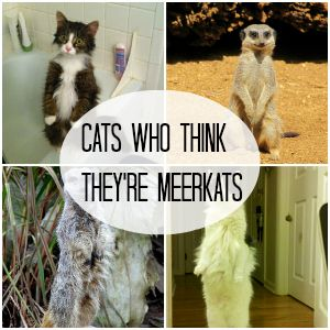 Cats who think they are Meerkats
