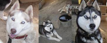 Adopcion 2 Hembras Husky Siberiano  Katya y Nissy