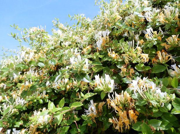 Lonicera caprifolium «madreselva» - Id Plantae