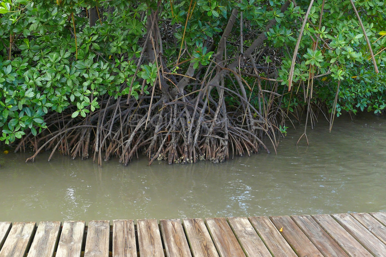 Mangrove, Martinique